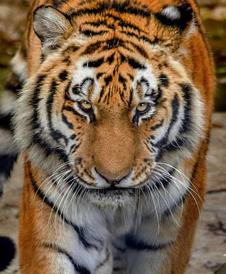 John Brown Photograph - Tiger Eyes Of Warning by John Brown