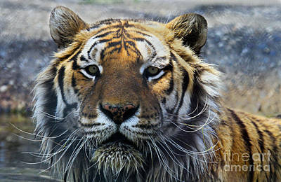 Photograph - Tiger Eyes by Roger Becker