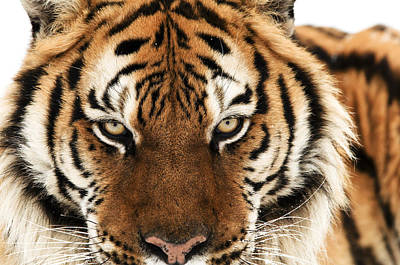 Photograph - Tiger Eyes by Scott Read