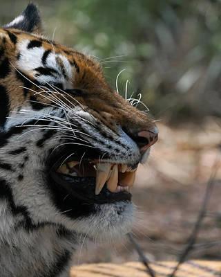Photograph - Tiger Faces 1 by Ernie Echols