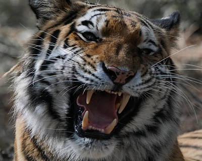 Photograph - Tiger Faces 2 by Ernie Echols