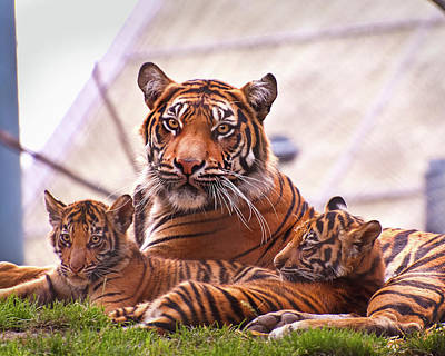 Photograph - Tiger Family by Jeanette Mahoney