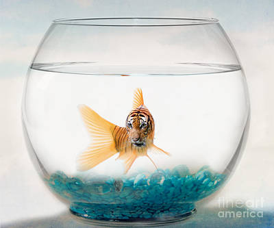 Goldfish Photograph - Tiger Fish by Juli Scalzi