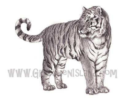 Watercolor Pet Portraits Drawing - Tiger by Gretchen Barota