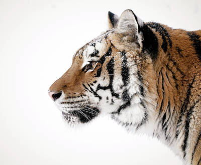 Photograph - Tiger Head Profile by Athena Mckinzie