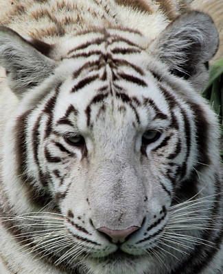 Photograph - Tiger Head Shot by Pamela Walton