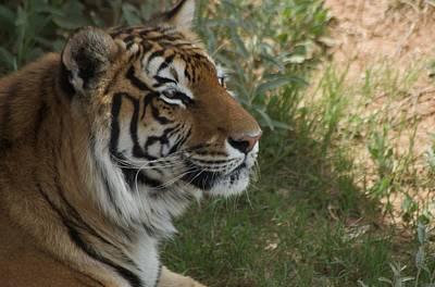 Tiger I Art Print by Susan Heller