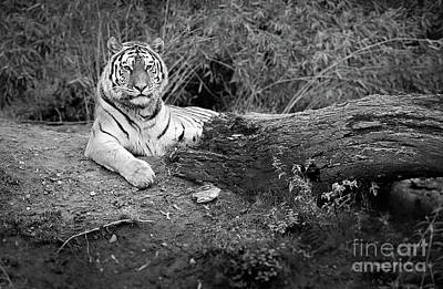 Photograph - Tiger In Black And White by Giovanni Malfitano