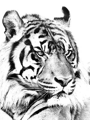 Photograph - Sumatran Tiger In Black And White by Paul Riedinger