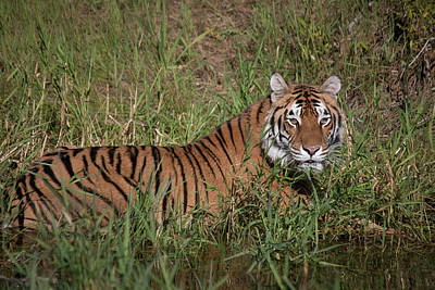 Photograph - Tiger In The Grass by Teresa Wilson