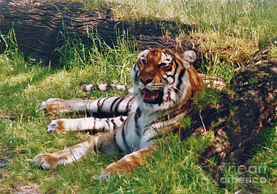 Photograph - Tiger - In The - Shade by D Hackett
