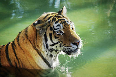 Bathing Photograph - Tiger In The Water by Carlos Caetano