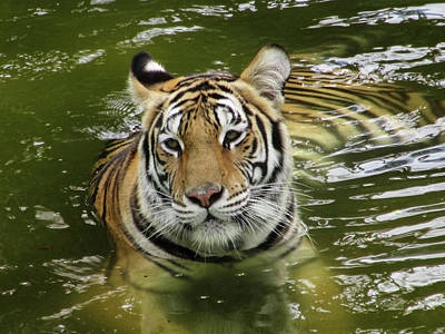 Art Print featuring the photograph Tiger In The Water by Pamela Walton