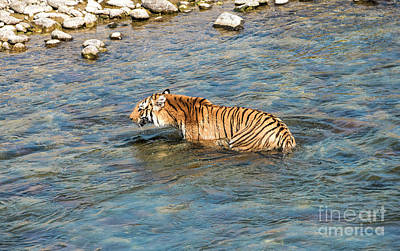 Photograph - Tiger In The Water by Pravine Chester