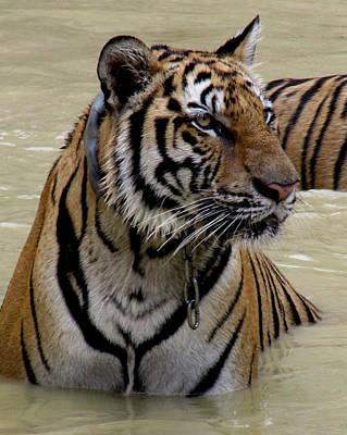 Tiger In Water Art Print by Leena Kewlani