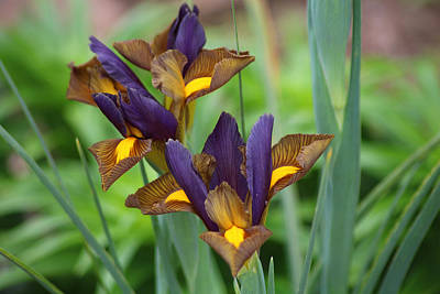Photograph - Tiger Irises 2 by Living Color Photography Lorraine Lynch