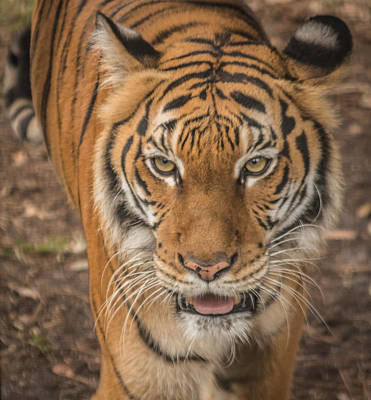 Photograph - Tiger by Jane Luxton