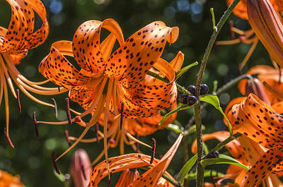 Photograph - Tiger Lilies In The Sun by Lynn Hansen