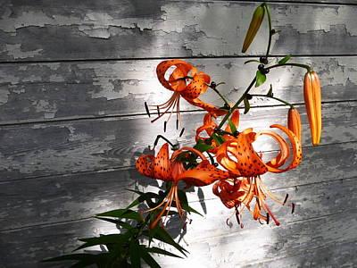 Fushia Photograph - Tiger Lily Drama by Tina M Wenger