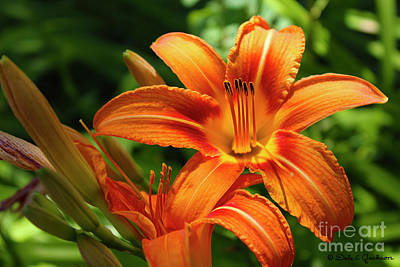 Photograph - Tiger Lily Explosion by Dale E Jackson