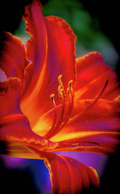 Photograph - Tiger Lily by Mark Dunton