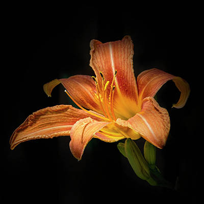 Photograph - Tiger Lily by Richard Macquade