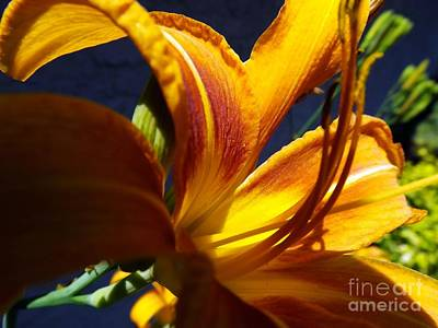 Photograph - Tiger Lily by Robyn King