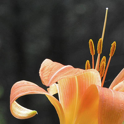 Photograph - Tiger Lily by Tana Reiff