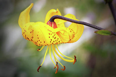 Photograph - Tiger Lily. by Terence Davis