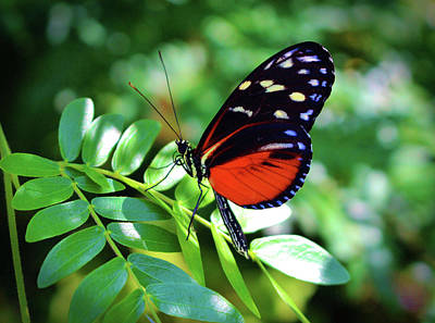 Photograph - Tiger Longwing Butterfly by Cynthia Guinn