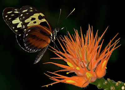 Photograph - Tiger Longwing by JT Lewis