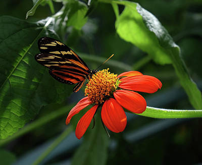 Photograph - Tiger Longwing On Flower by Ronda Ryan
