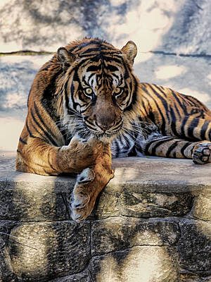 Photograph - Tiger Looking by Charles McKelroy