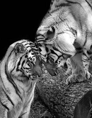 Siberian Tiger Photograph - Tiger Love by Stephanie McDowell