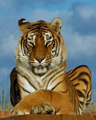 Photograph - Tiger M by Phyllis Spoor