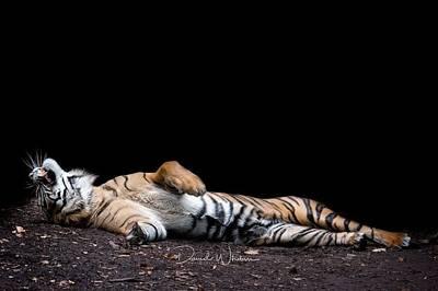 Landscapes Digital Art - Tiger by Maye Loeser