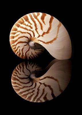 Tiger Nautilus Shell And Reflection Art Print by Jim Hughes