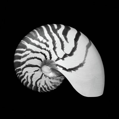 Art Print featuring the photograph Tiger Nautilus Shell by Jim Hughes