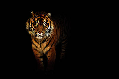 Mammal Photograph - Tiger On A Black Background by Tim Abeln