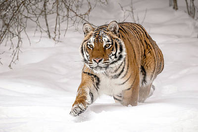 Photograph - Tiger On The Run by Athena Mckinzie