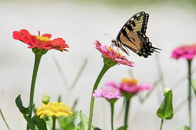 Photograph - Tiger On Zinnias by Linda Shannon Morgan