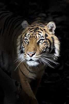 Photograph - Tiger by Pascal Mercay