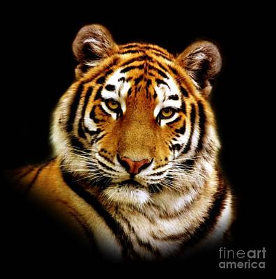 Animals Royalty-Free and Rights-Managed Images - Tiger by Jacky Gerritsen