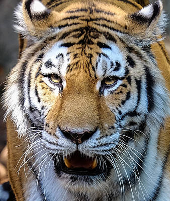 Photograph - Tiger Portrait 2 by John McArthur