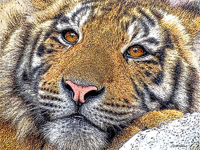Drawing - Tiger Portrait - Color Sketch by Ericamaxine Price