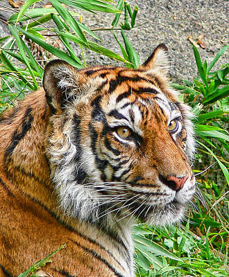 Tiger Portrait Art Print by Jennie Marie Schell