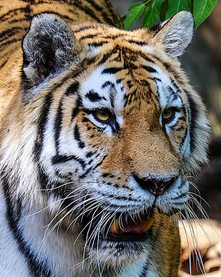 Photograph - Tiger Portrait by John McArthur