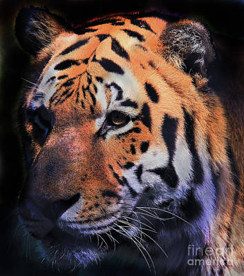 Photograph - Tiger Portrait by Roger Becker