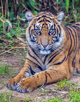 Photograph - Tiger Portrait by William Bitman