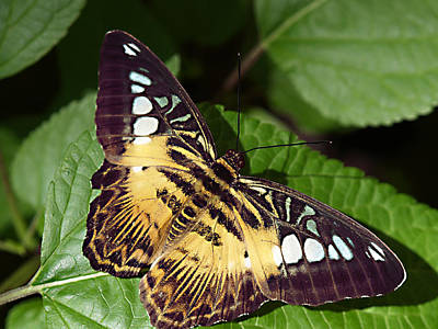 Tiger Print --- Clipper Butterfly Art Print